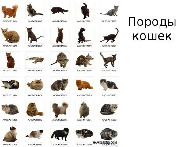 Курильский бобтейл (kurilian bobtail) кошка: подробное описание, фото, купить, видео, цена, содержание дома