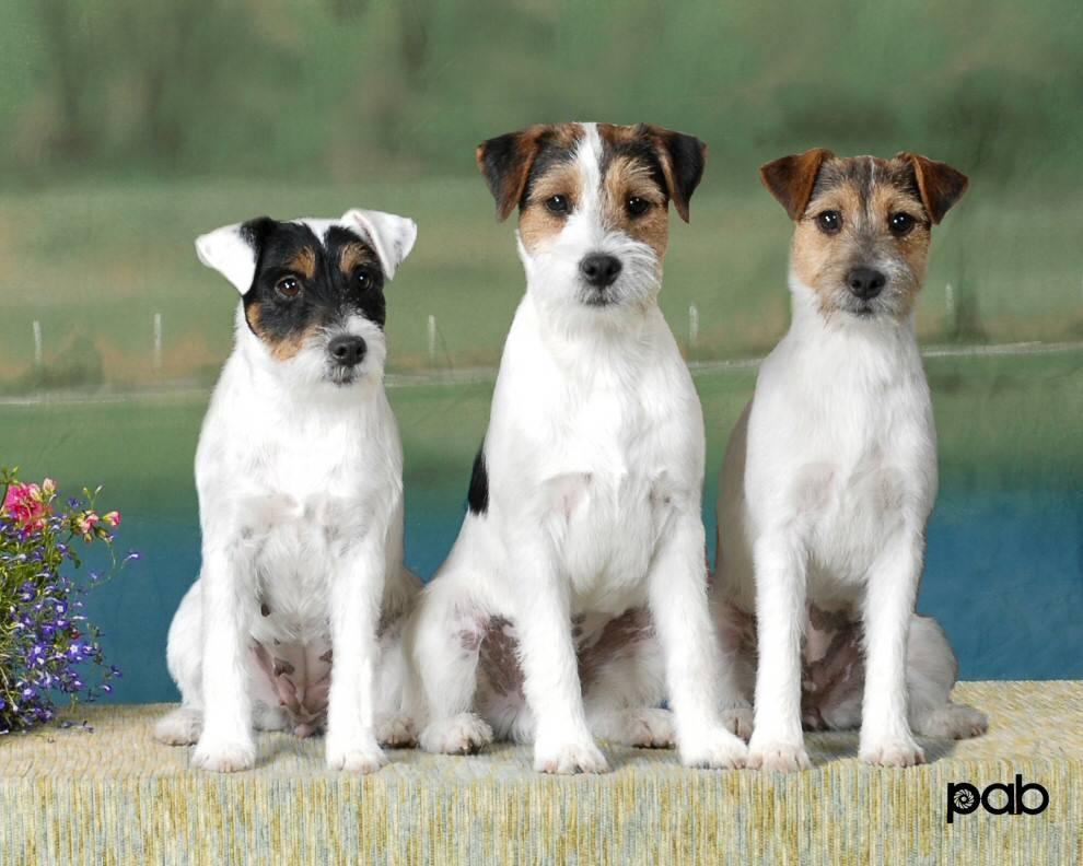 Джек рассел терьер — маленький, но очень надёжный друг ⋆ собакапедия