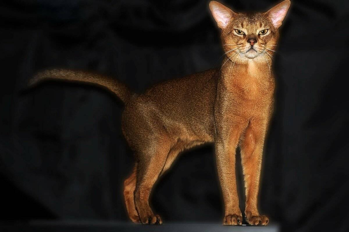 Абиссинская кошка: описание породы и характера, отзывы