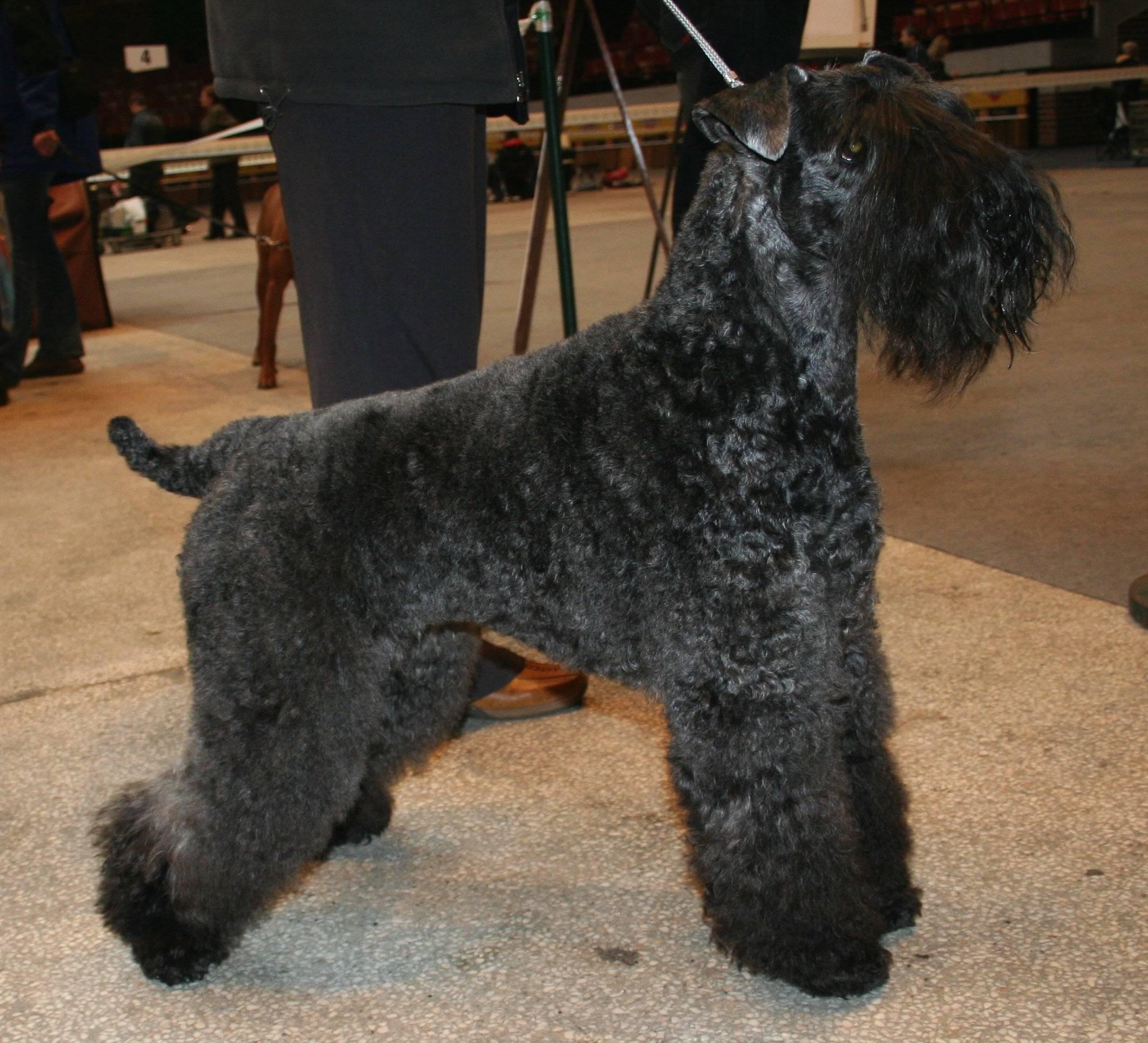 Описание породы собак керри-блю-терьер с отзывами владельцев и фото