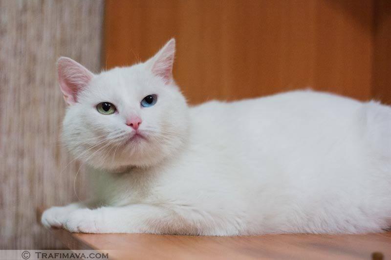 Анатолийская кошка (турецкая короткошерстная): история, характер и особенности содержания