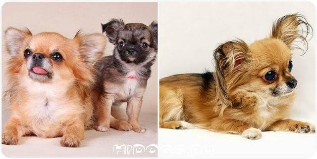 Все о течке у собак: от физиологических особенностей до нюансов поведения