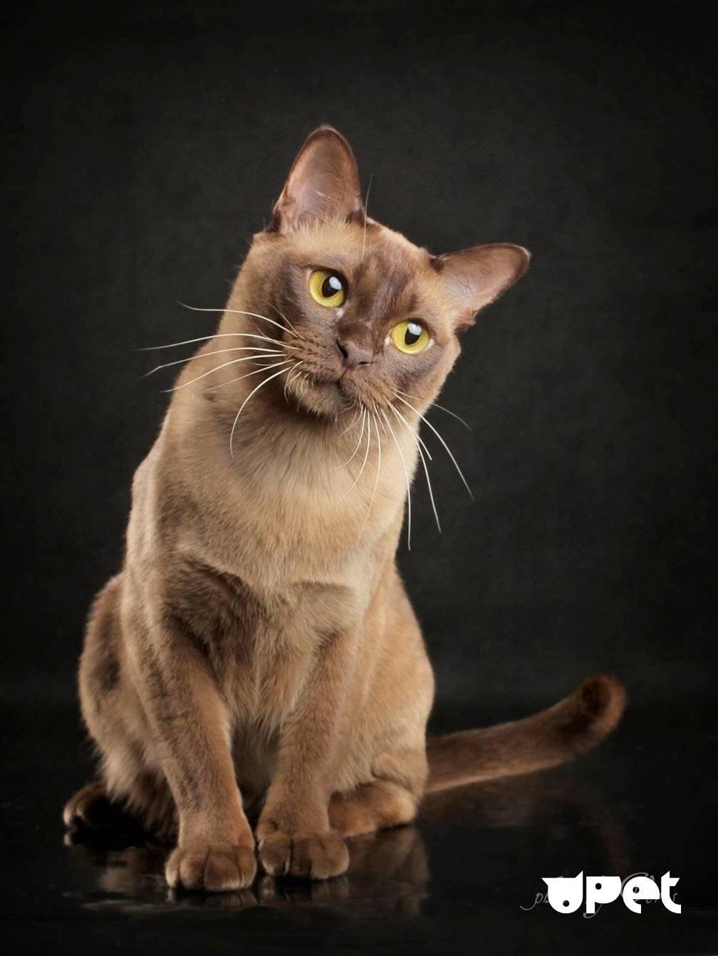 Бурманская кошка: описание породы и характера, стоимость, отзывы