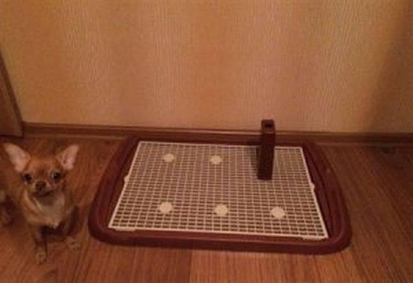 Как приучить чихуахуа к туалету дома: советы опытных собаководов