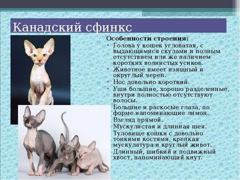 Породы кошек похожие на собак
