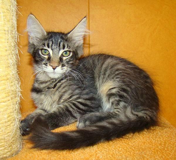Отличия мейн — куна от сибирской кошки, обычной и метисов
