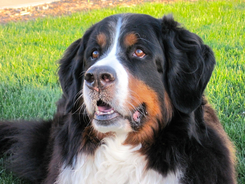 Зенненхунды – виды, фото собак, описание пород