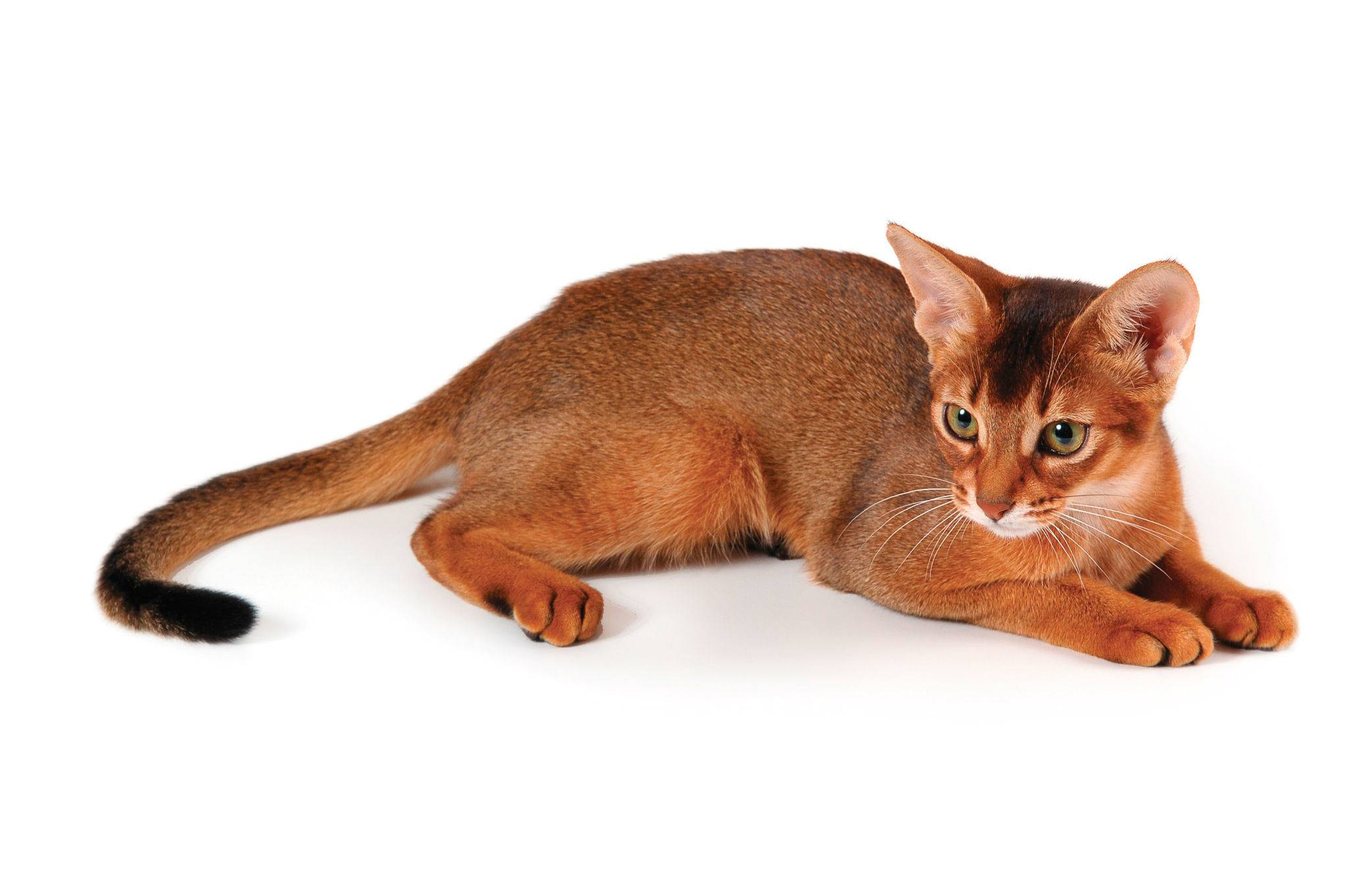 Абиссинская кошка: происхождение породы, стандарты внешнего вида, особенности характера, правила ухода и кормления, выбор котенка, фото