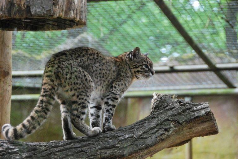 Кошка жоффруа. описание и фото кошки жоффруа