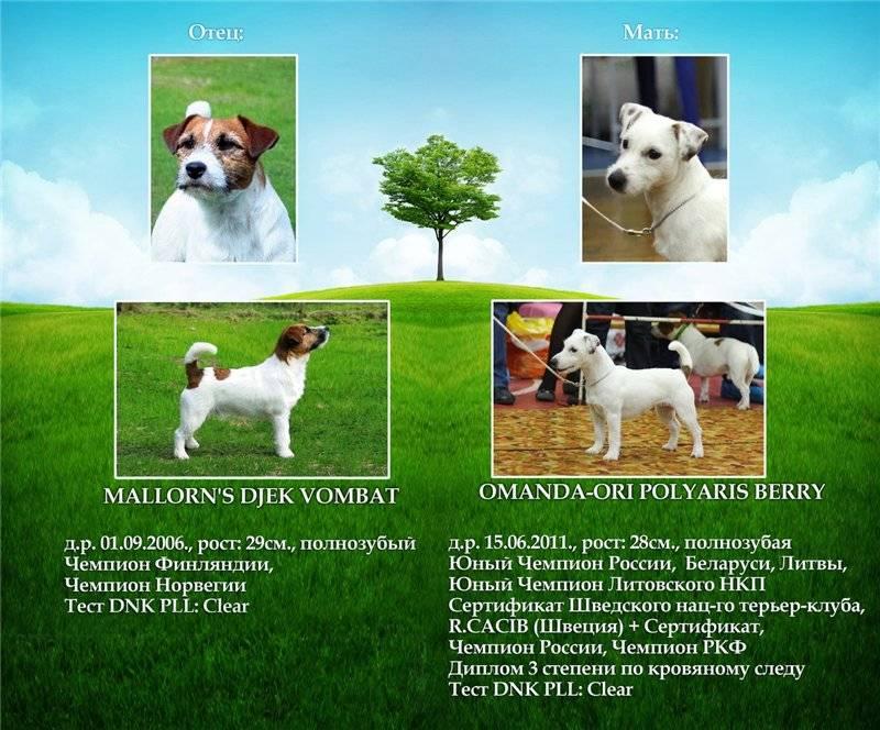 Джек рассел терьер – энциклопедия о собаках