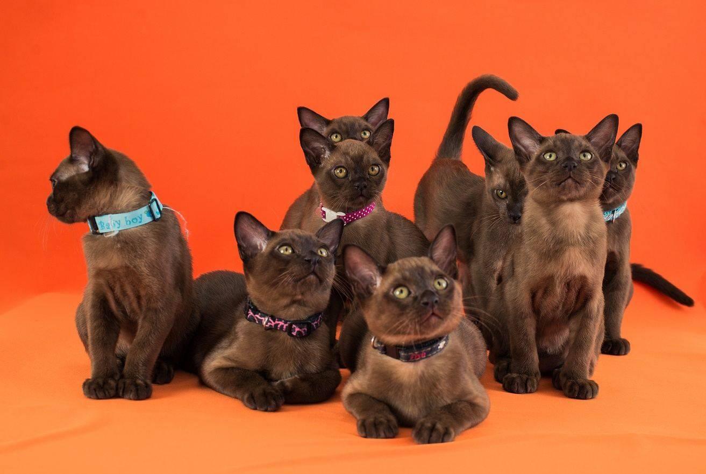 Питомники кошек