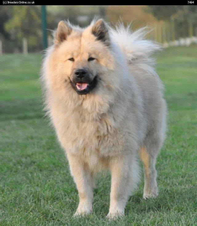 Евразиер — описание породы собак