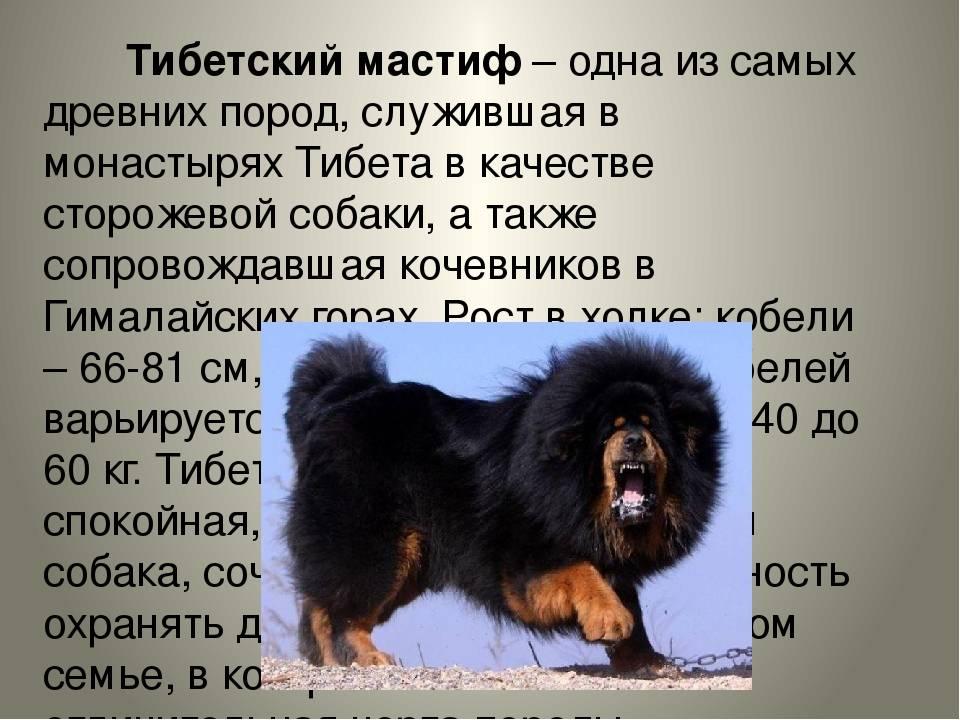 Собаки: тибетский мастиф - характеристика, фото, описание породы, содержание и уход.