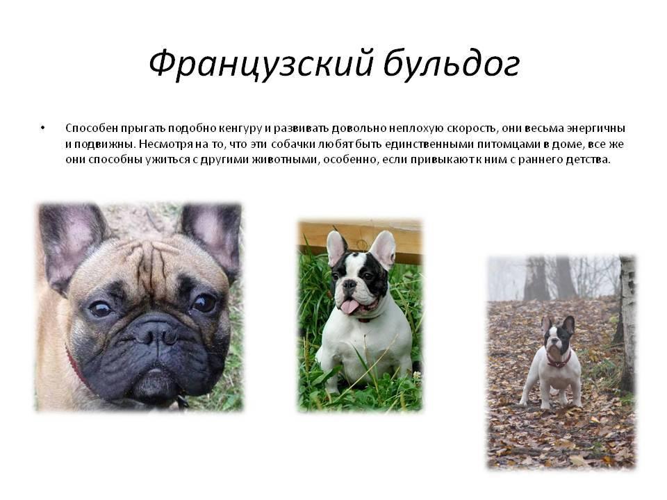 Бульдоги – разновидности породы, фото, названия с описанием