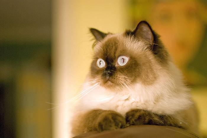 Гималайская кошка: порода, никогда не жившая в горах