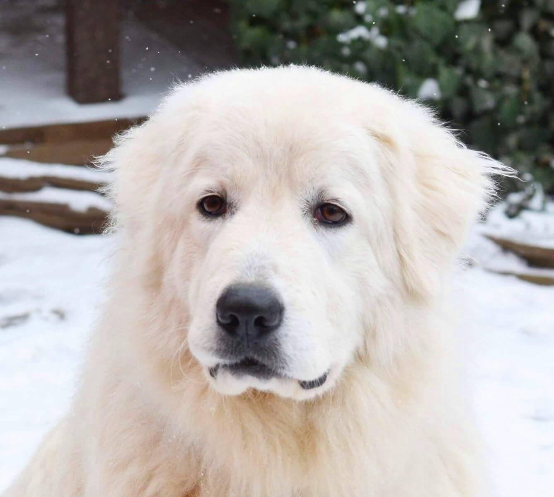 Маремма собака. описание, особенности, уход и цена мареммы