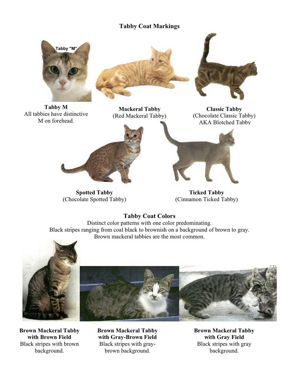 Трехцветная кошка. описание, особенности, приметы и породы трёхцветных кошек