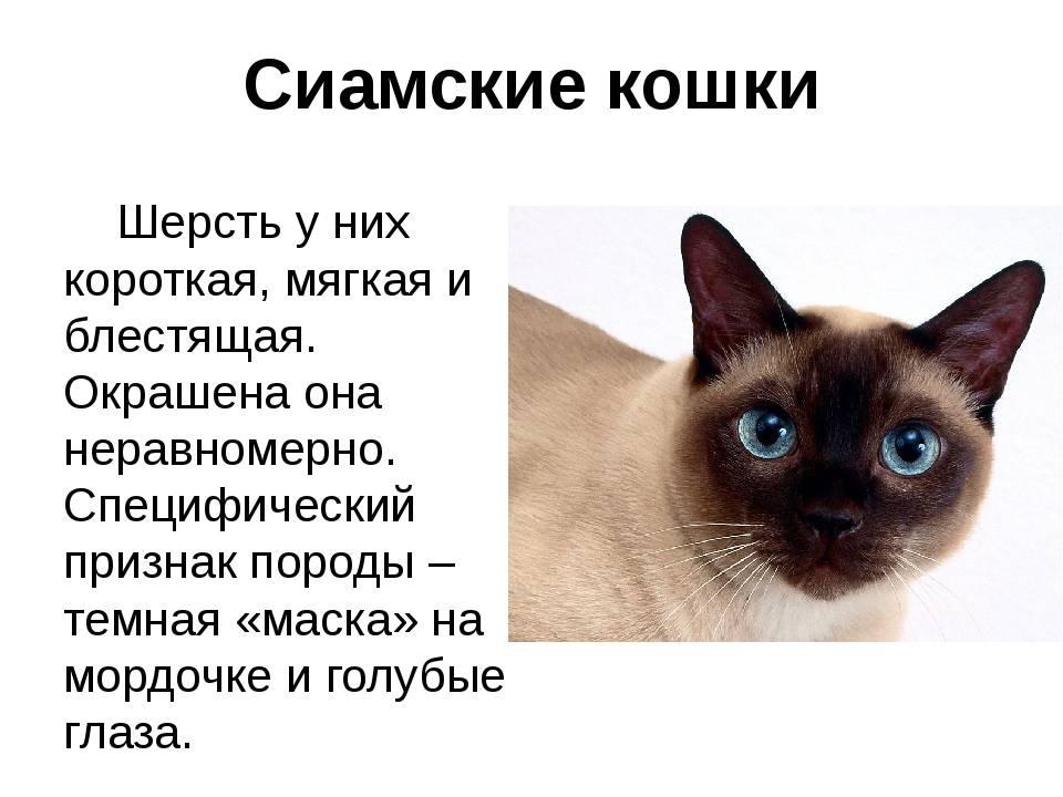Изучаем характер сиамской породы кошек