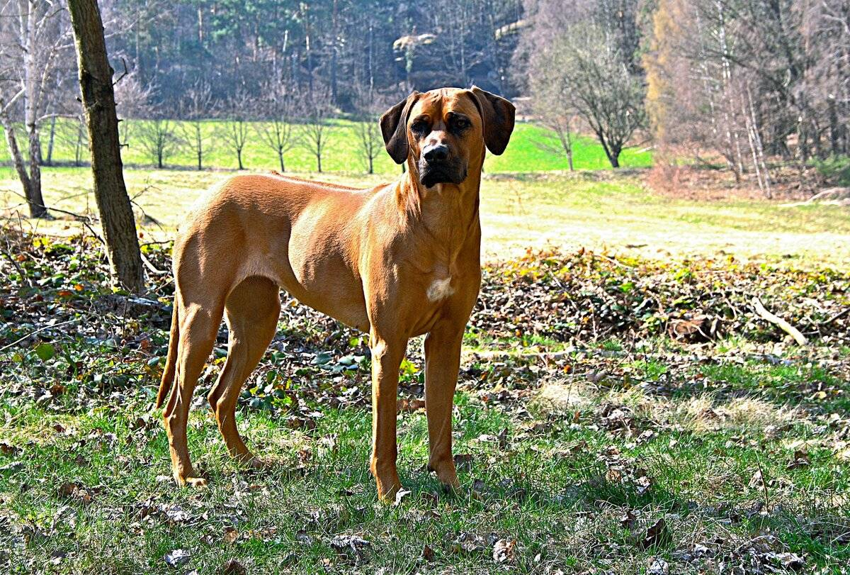 Родезийский риджбек: характеристика породы, цена щенка