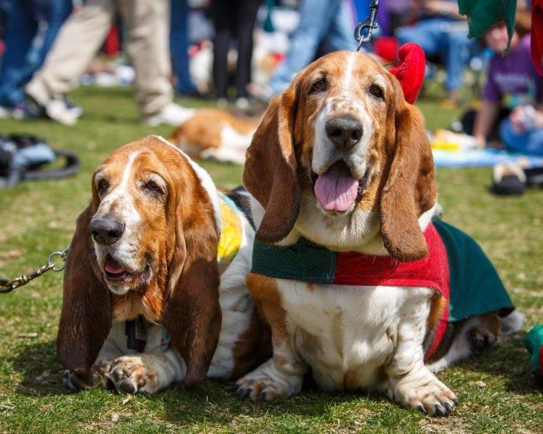 Бассет хаунд: фото и картинки собак и щенков, цена (сколько стоят), описание стандарта, веса и характеристики, отзывы владельцев, сколько живут, породы, похожие на эту