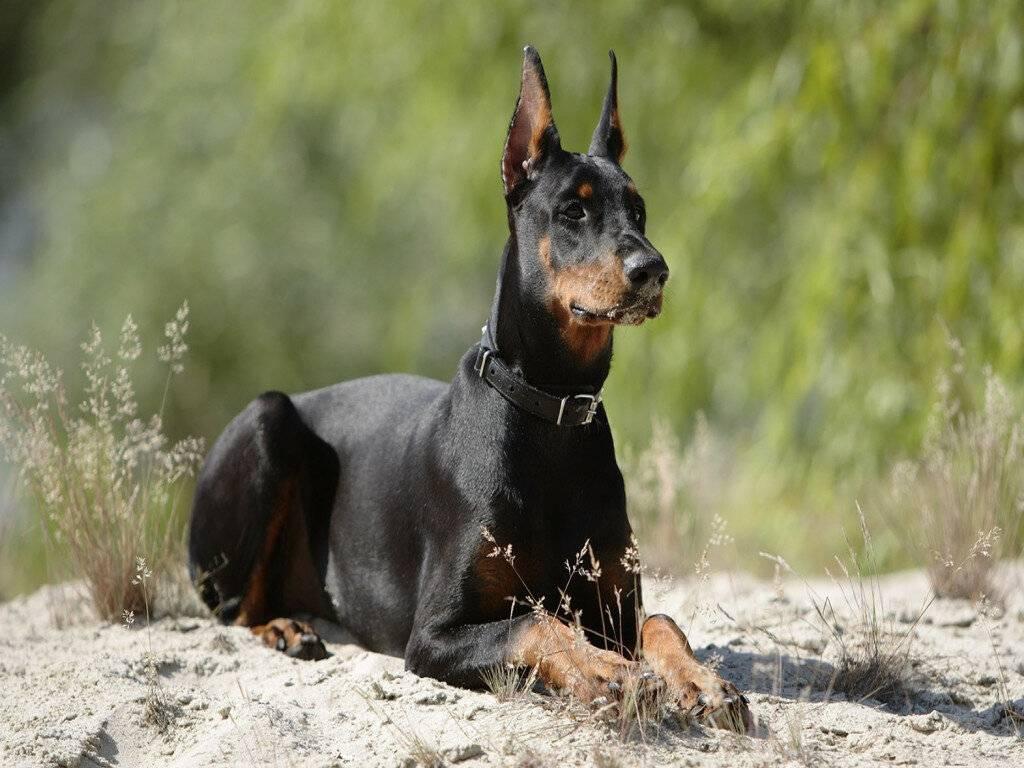 Топ-12 самых опасных собак в мире