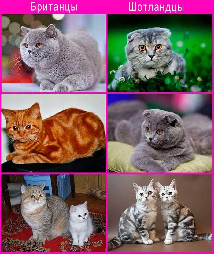 Скоттиш-страйт: порода шотландских прямоухих котов, описание внешнего облика и особенности характера