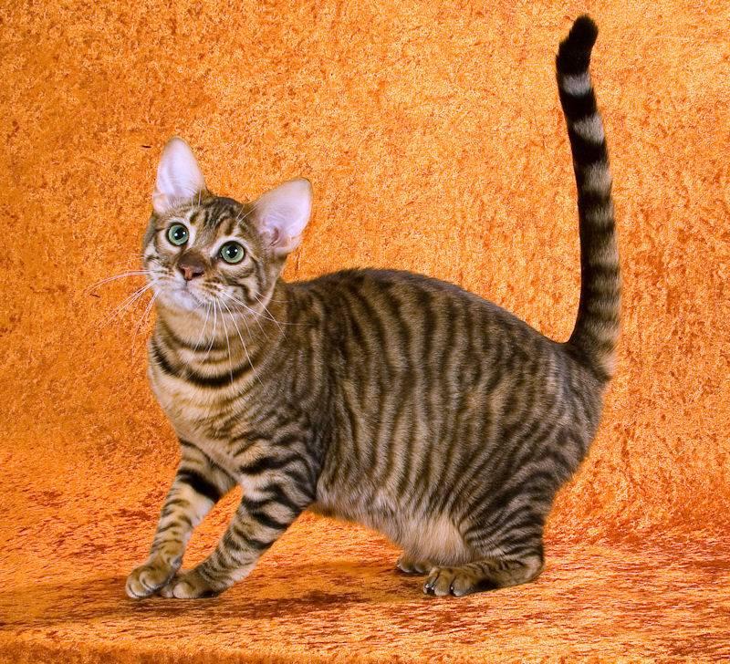 Тойгер кошка. описание, особенности, цена и уход за породой тойгер | животный мир