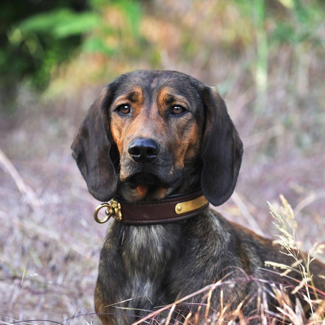Австрийская гончая(брандл бракк): описание породы и характера (с фото) | все о собаках