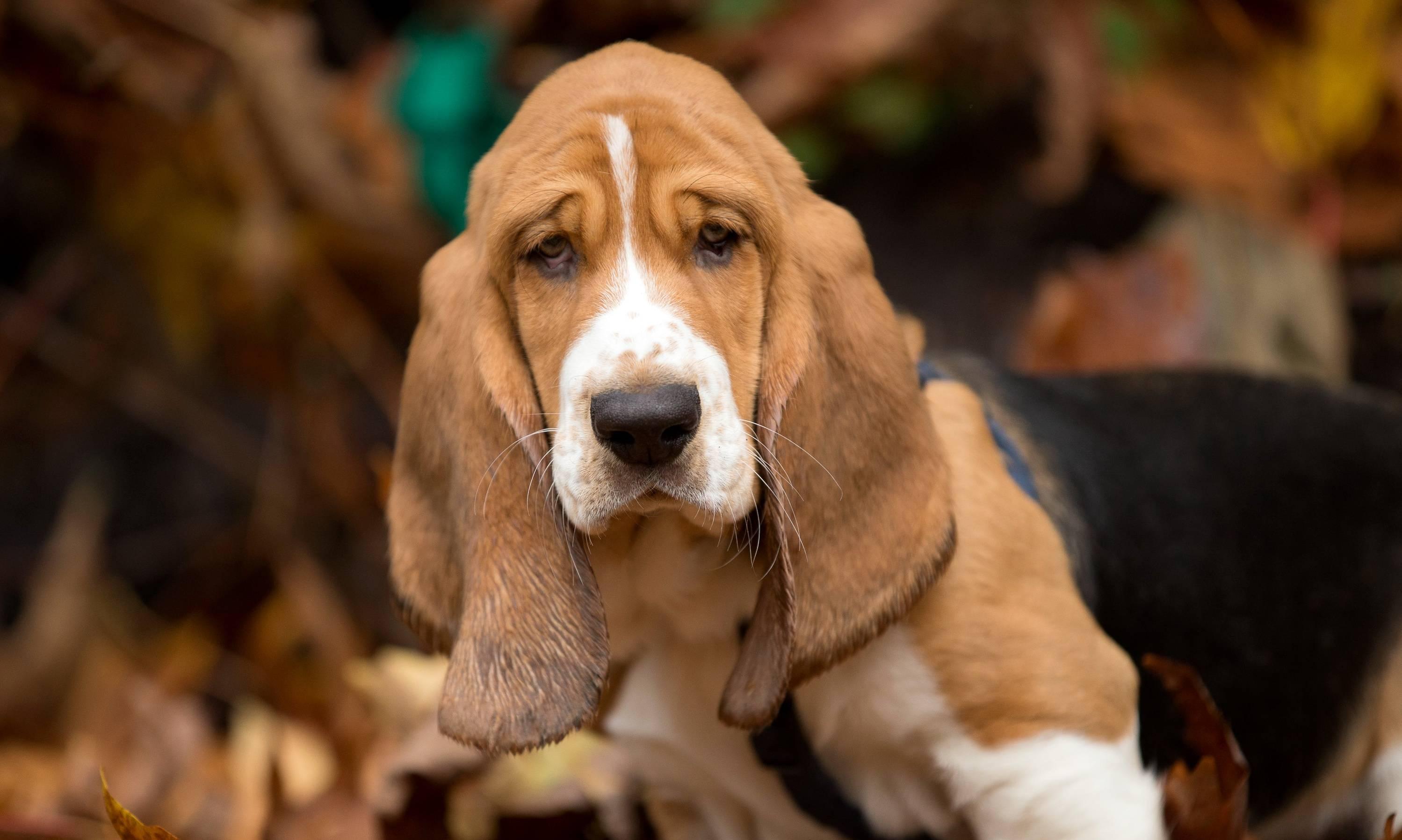 Собаки с большими (длинными) ушами — обзор пород с фото и названиями