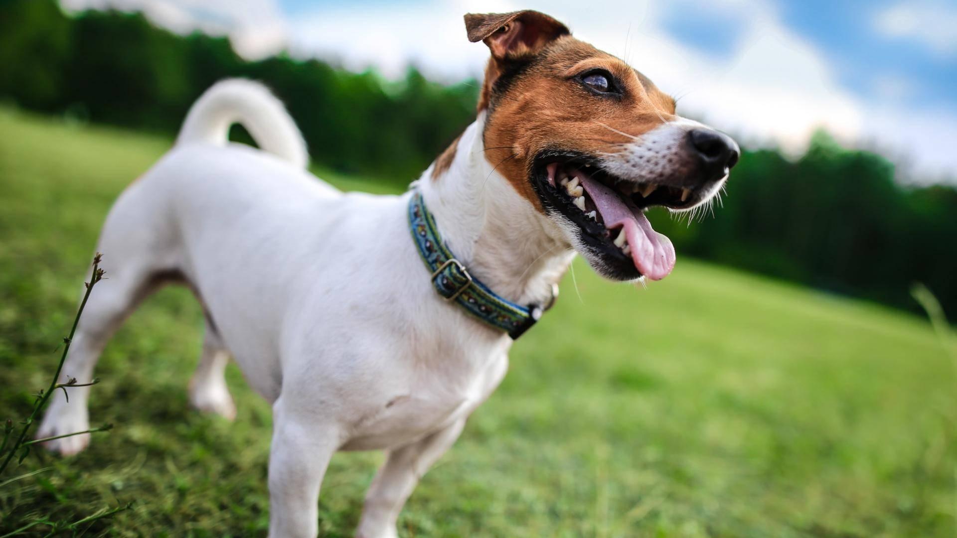 Джек-рассел-терьер: описание породы, характер, плюсы и минусы, собака из фильма маска, разновидности
