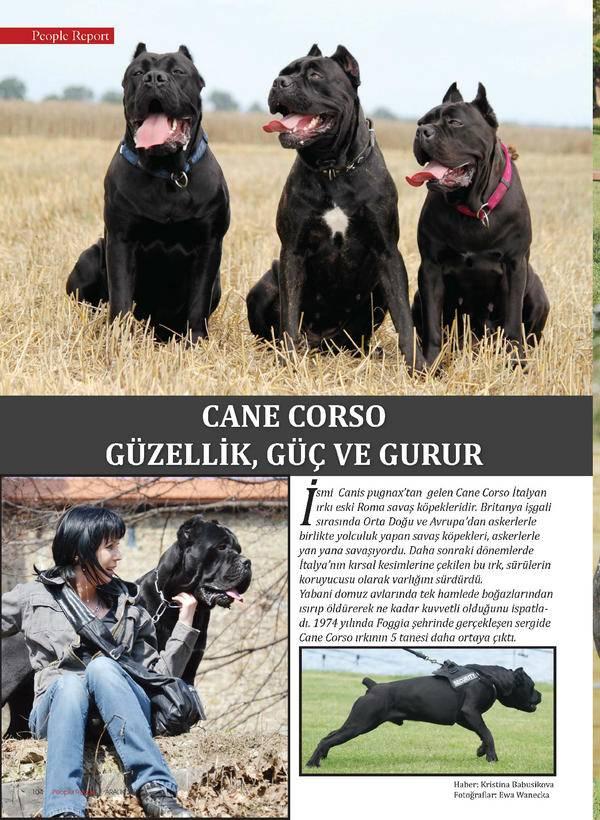 Собаки кане корсо: описание и характеристика итальянской породы, воспитание щенка, уход и кормление