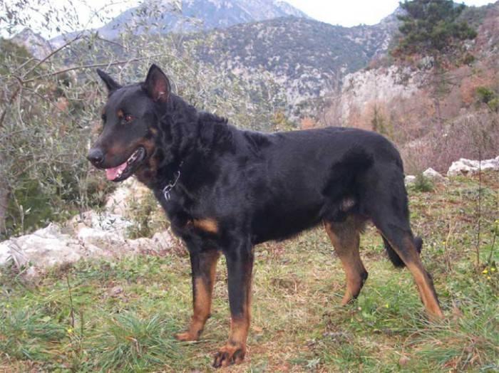 Босерон собака. описание, особенности, уход и цена босерона