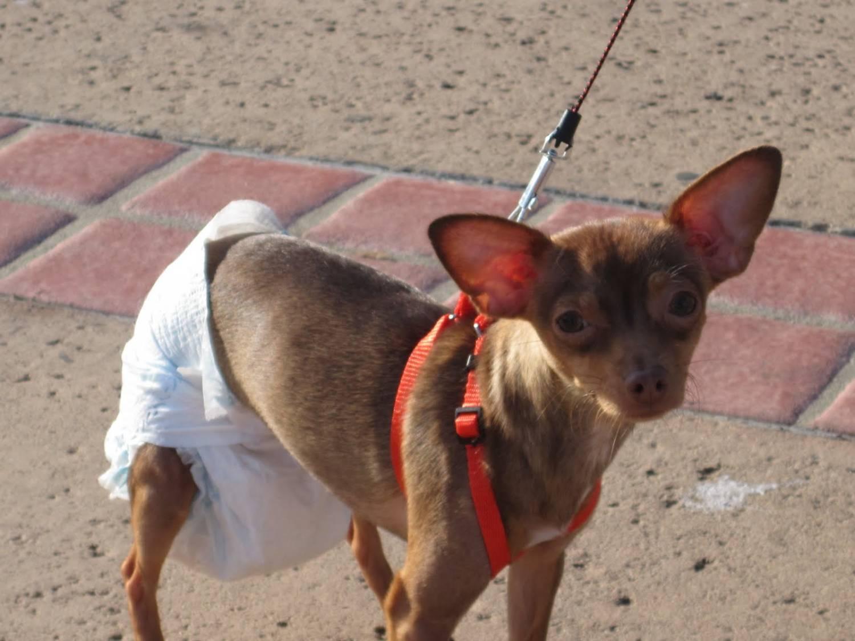Течка у собак: признаки, продолжительность, поведение; первая течка у собак, как определить, особенность вязки и ухода во время эструса