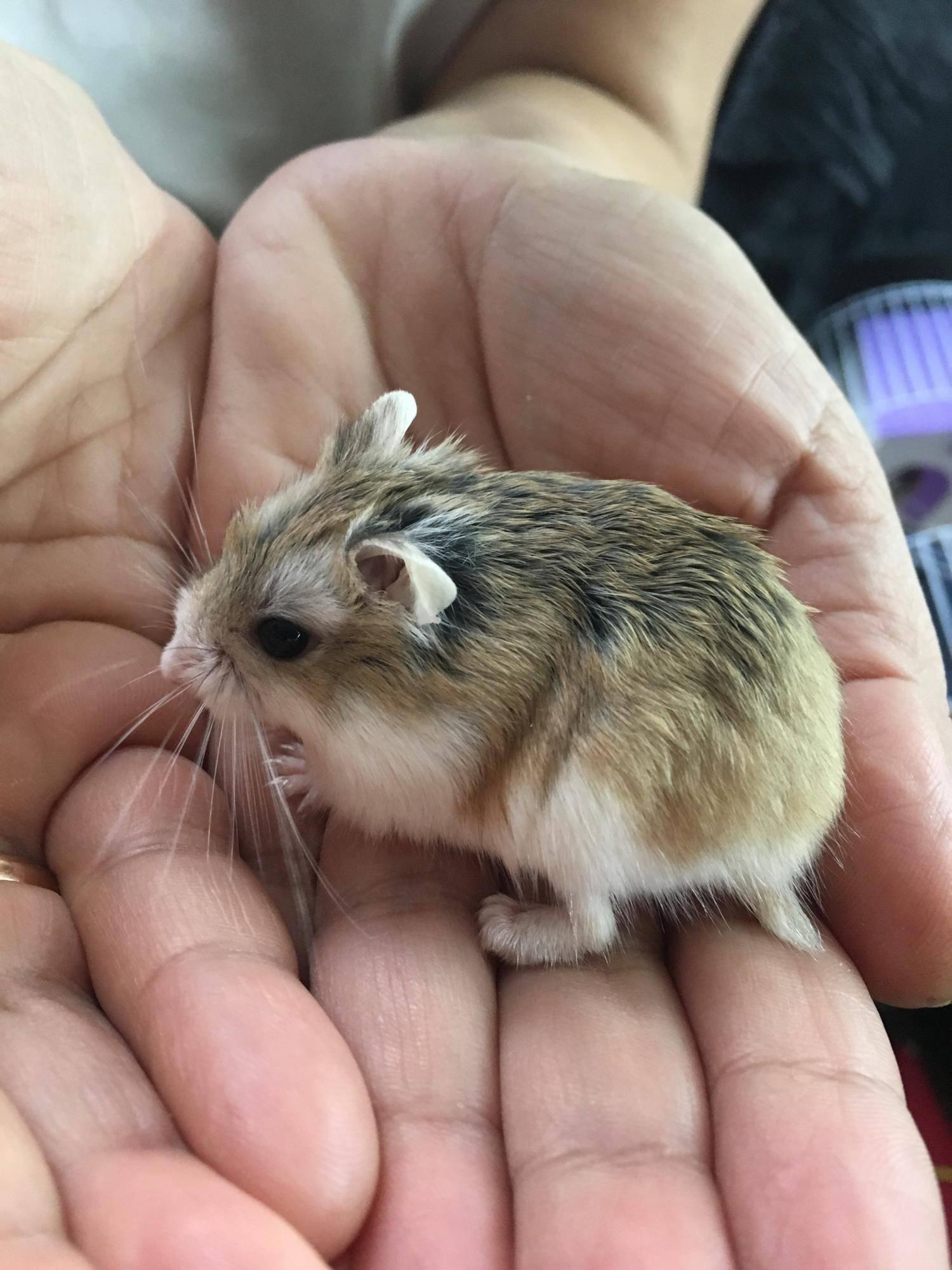 Маленькие хомячки (42 фото): породы карликовых хомяков. как они выглядят? какой хомяк является самым маленьким в мире?