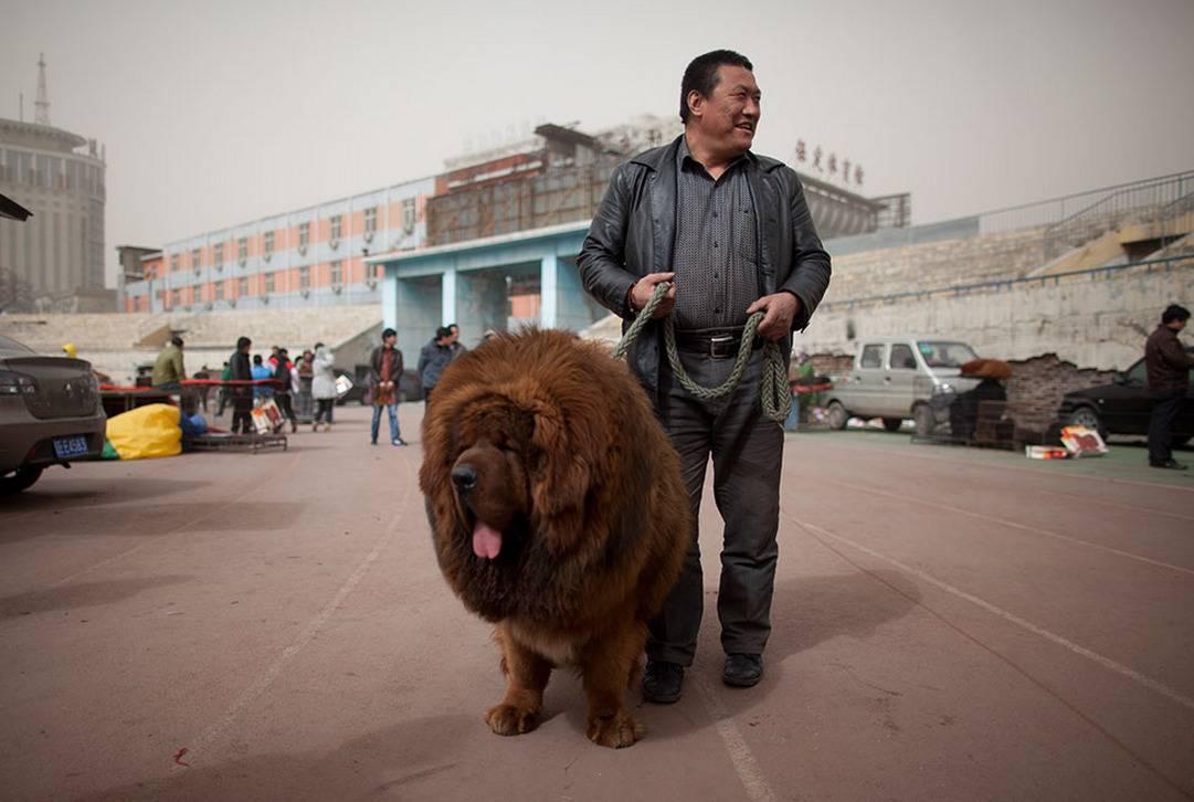 Тибетский мастиф: цена, описание породы, характер и особенности ухода за шерстью (100 фото + видео)