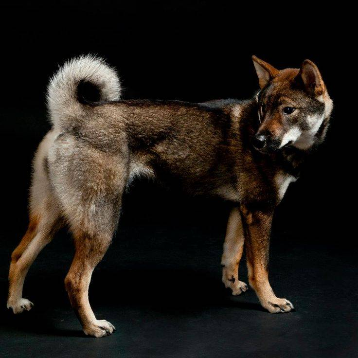 Сикоку — редкая порода собак, выведенная в японии