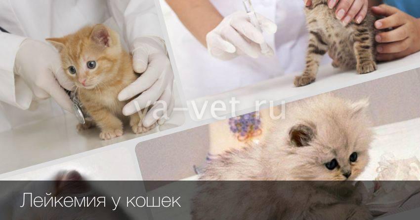 Лейкоз у кошек симптомы и лечение лейкемии