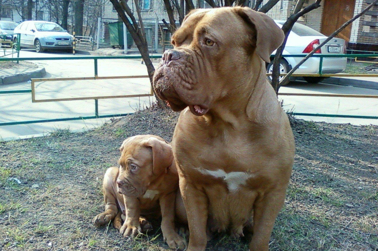 Бордоский дог: характеристика породы, уход и питание, выбор щенка