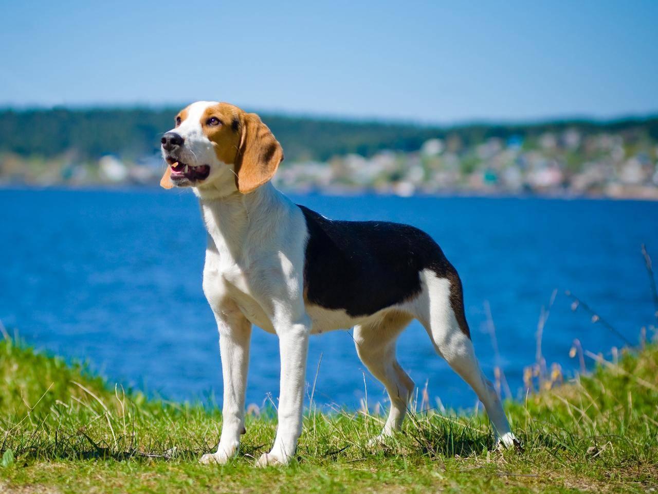 Эстонская гончая порода: описание, характер, фото   все о собаках