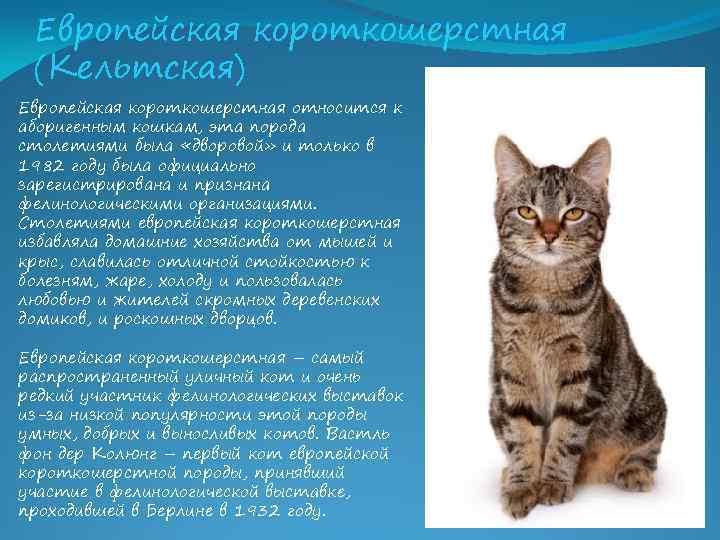 Сибирская кошка - 95 фото кошки легко переносящей стужу