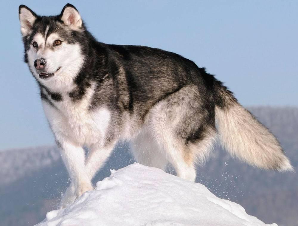 Хаски - 90 фото крайне популярных ездовых северных собак