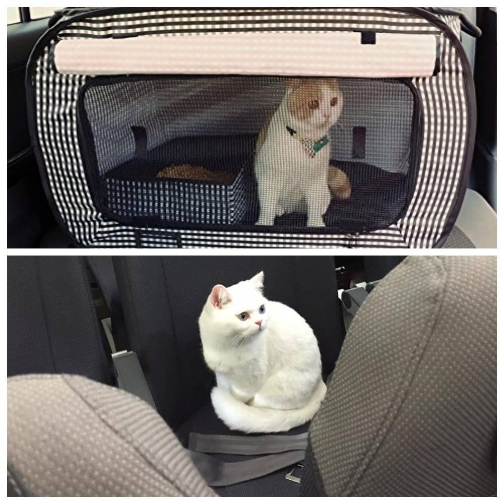 Как перевезти кота в машине: основные правила и советы