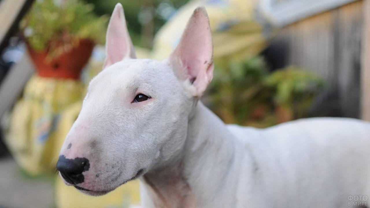 Порода бойцовских собак с вытянутой крысиной мордой: как называется