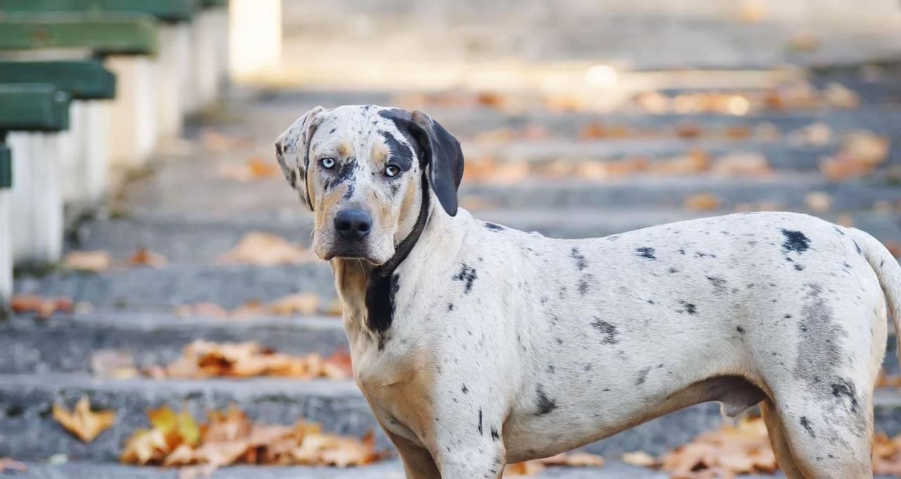 Леопардовая собака катахулы — описание породы и история возникновения