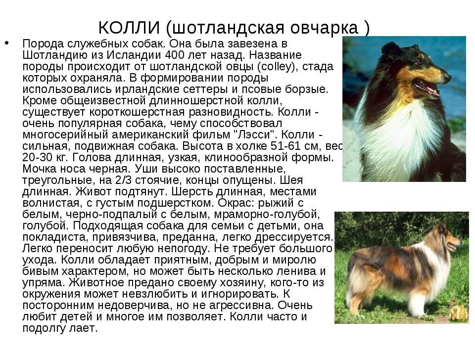 Английская овчарка: характеристика и описание породы (с фото)