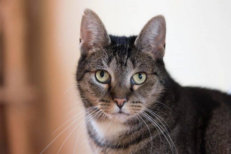 Бразильская короткошерстная кошка — описание породы