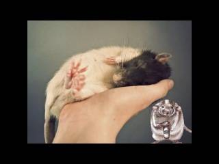 Дрессировка крыс - люблю хомяков