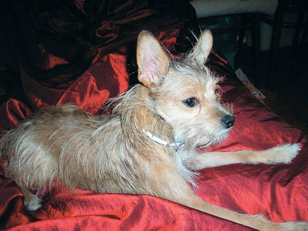 Бриар (порода собак): описание французских овчарок