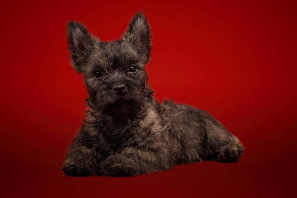 Керн терьер собака. описание, особенности, уход и цена керн терьера   животный мир