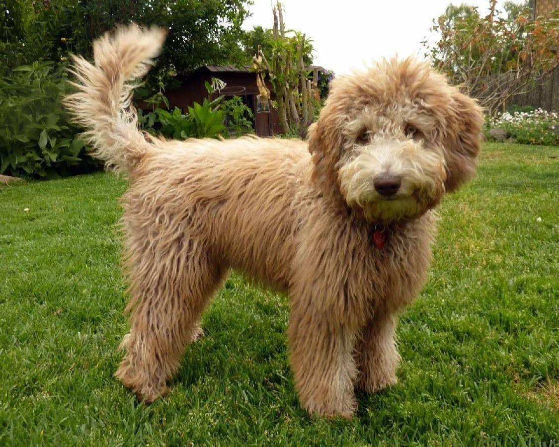Лабрадудль: описание породы, характер, фото | все о собаках